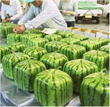 lessons of square watermelon think outside the box